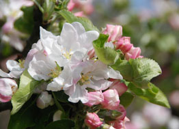 Fleur de pommier Ardèche
